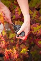 Vente de vins du Beaujolais, Saint Amour, Juliénas, Mâcon (71)